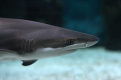 Fish. shark. Shark floats in the sea Royalty Free Stock Images