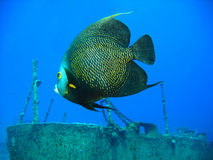 Fish by shipwreck. French angelfish swimming near shipwreck Stock Images