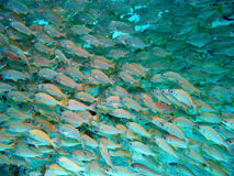 Fish shoal Royalty Free Stock Photography