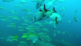 Fish Shoal underwater stock video