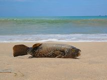 Fish on the shore, fish in the sand, fish scales Stock Image