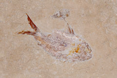 Fish & Shrimp Fossil. Fossil of a Fish and shrimp Stock Image