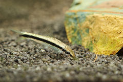 Fish. siamese algae eater Royalty Free Stock Images
