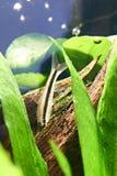 Fish. siamese algae eater Stock Images