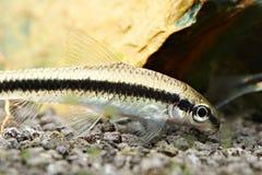 Fish. siamese algae eater Stock Image