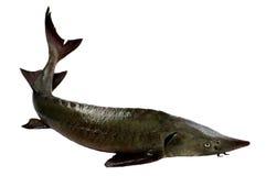 Fish  Siberian Stargeon Stock Image