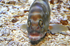 Fish with silly face. Taken in sumida aquarium Tokyo Royalty Free Stock Photo