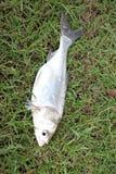 The Fish silver carp. Stock Image