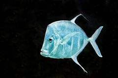 Fish Silver Moonfish,Lookdowns-Selene vomer Royalty Free Stock Images