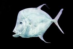 Fish Silver Moonfish,Lookdowns-Selene vomer Stock Photography
