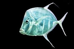 Fish Silver Moonfish,Lookdowns-Selene vomer Stock Photo