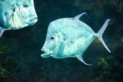 Fish Silver Moonfish,Lookdowns-Selene vomer Stock Photos