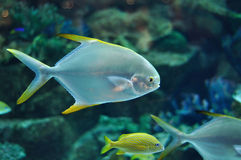 Fish similar to platax or Pomfret in salwater aqua. Fish with silver body and yellow flippers similar to platax or Pomfret in salwater aquarium Stock Photography