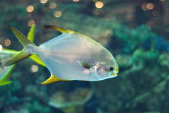 Fish similar to platax or Pomfret in salwater aquarium. Fish with silver body and yellow flippers similar to platax or Pomfret  in salwater aquarium Royalty Free Stock Image