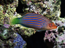 Fish six line wrasse - pseudocheilinus hexataenia. Colorful stripped fish six line wrasse - pseudocheilinus hexataenia Royalty Free Stock Photography