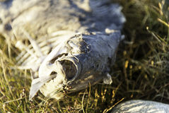 A fish skeleton carcass laying on a beach. Stock Photos