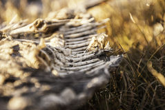 A fish skeleton carcass laying on a beach. Royalty Free Stock Images