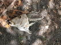 Fish skeleton on dark sand royalty free stock photography