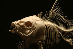 Fish skeleton on the dark Royalty Free Stock Photo
