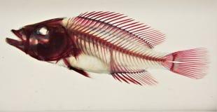 Fish Skeleton on display at fishing store.