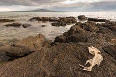 Fish skeleton on volcanic rocks Stock Photo