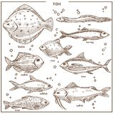 Fish sketch species with names vector isolated fishing icons set. Fish sketch species with names of river carp, ocean flounder flatfish or sea herring. Vector Royalty Free Stock Image