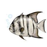 Fish sketch vector graphics. Atlantic fish-shovel sketch vector graphics color picture Royalty Free Stock Photo