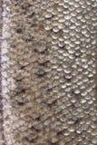 Fish skin texture close up. Stock Photo