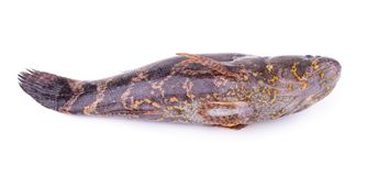 Fish Sleepy goby isolated on a white background.  Stock Photography