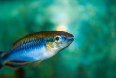 Fish. Small blue fish in aquarium royalty free stock photo