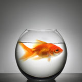 Fish in small bowl Stock Images