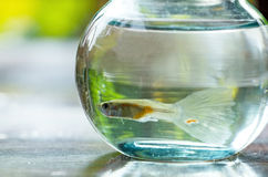 Fish in small bowl Royalty Free Stock Photography