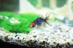 Fish. Small fish swimming in an aquarium Stock Photo