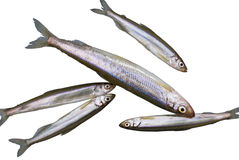 Fish Smelt 1 Stock Photos