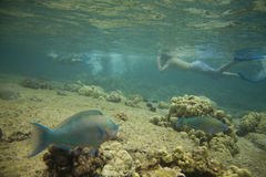 Fish and Snorkelers. Horizontal image of a pair of parrotfish with snorkelers in  the background Stock Images