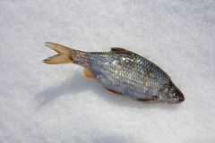 Fish in the snow Royalty Free Stock Photo