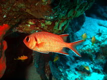 Fish-soldier. Pictures of the underwater world of Red sea: fish-soldier royalty free stock photos