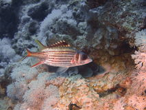 Fish-soldier. Pictures of the underwater world of Red sea: fish-soldier stock photography