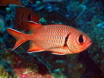 Fish-soldier. The surprising underwater world of Philippine sea, island Mindoro, fish-soldier stock photography