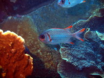 Fish-soldier before the shelter. Underwater inhabitants of the South-Chinese sea, coral fish, Vietnam, Nha Trang stock images