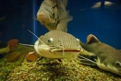 Fish som. Huge spotty aquarium som, closeup Royalty Free Stock Photos