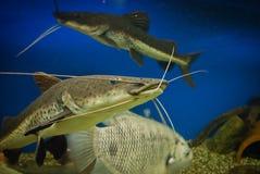 Fish som. Huge spotty aquarium som, closeup Royalty Free Stock Image