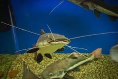 Fish som. Huge spotty aquarium som, closeup Stock Image