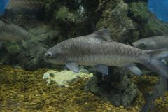 Fish : Soro brook carp Neolissochilus soroides. Neolissochilus soroides, commonly called the soro brook carp, is a freshwater fish of Thailand Stock Photo