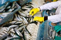 Fish sorting Royalty Free Stock Photos