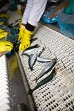 Fish sorting. Workers in a factory sorting fish to be sold Royalty Free Stock Photo