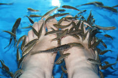 Fish Spa. Skin care treatment with the fish Rufa Garra Stock Photography