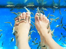 Fish spa pedicure. Rufa Garra  massage treatment. Closeup of feet and fish in blue water. Female feet Royalty Free Stock Photography