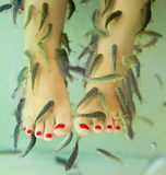 Fish spa pedicure. With the fish rufa garra, also called doctor fish, nibble fish and kangal fish Royalty Free Stock Photos