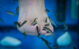 Fish spa pedicure and foot fish spa. Fish spa pedicure or foot fish spa with garra rufa fish eating dead skin from human leg Royalty Free Stock Photo